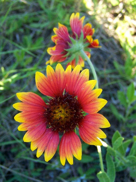 indian blanket image####