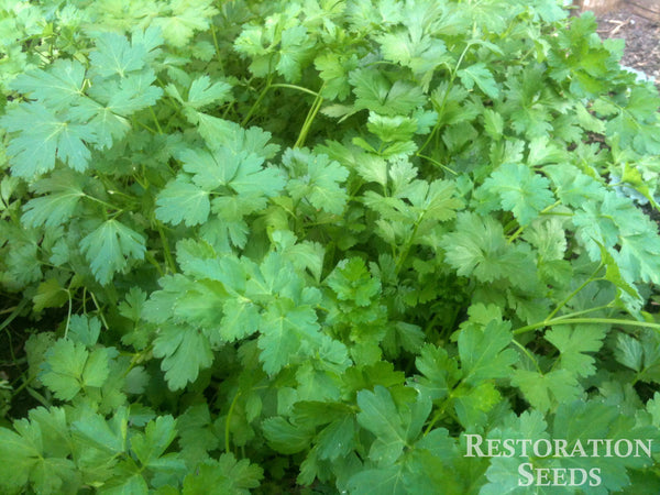 italian parsley image####