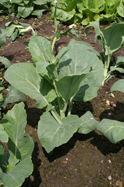 Kichi No8 chinese sprouting broccoli image####