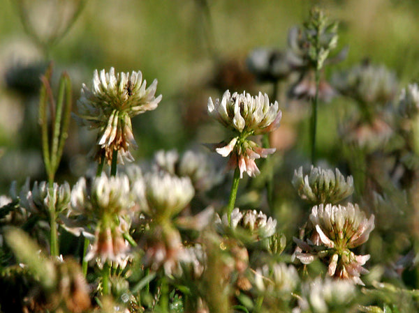 Ladino white clover image##Photo: J.M.Garg##