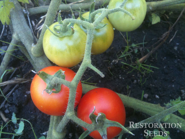 Large Red Cherry tomato image####