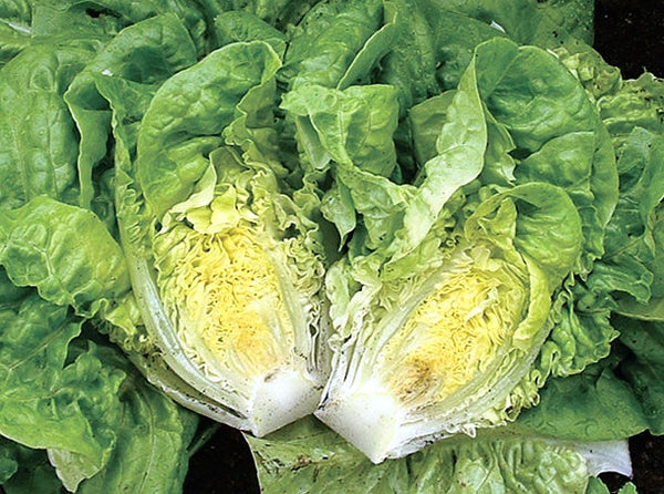 Little Gem lettuce image####