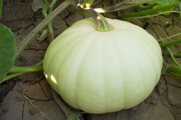 Long Island Cheese winter squash moschata image####