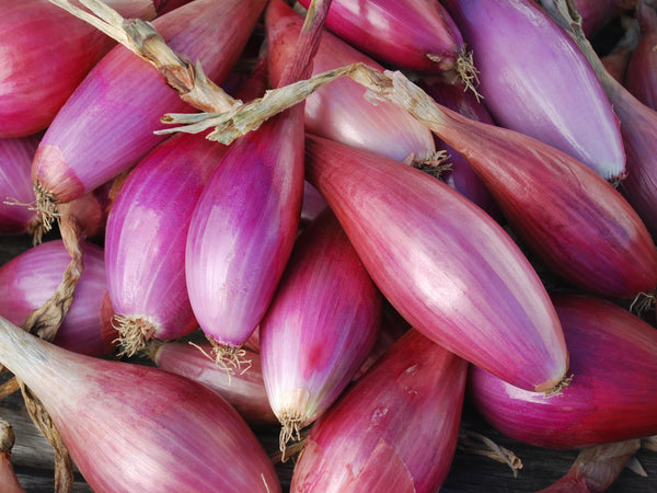 Long Red Florence onion image####