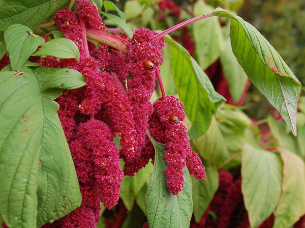 Love Lies Bleeding amaranthus caudatus image####