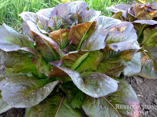 Majestic Red lettuce image####
