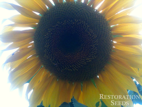 Mammoth Black sunflower image####