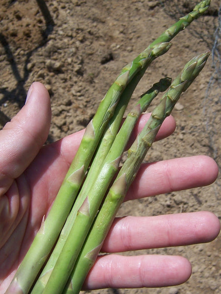 Mary Washington asparagus officinalis image##Gettin' Fresh!##https://gettinfreshblog.wordpress.com/2014/05/08/asparagus-part-6-first-harvest/