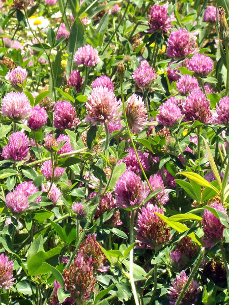 Medium red clover image####