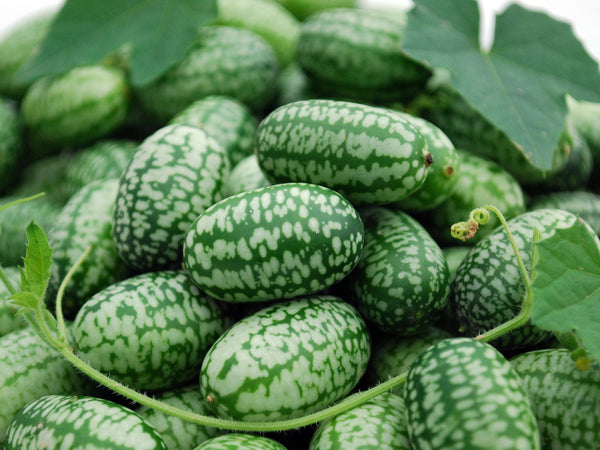 mexican sour gherkin image####