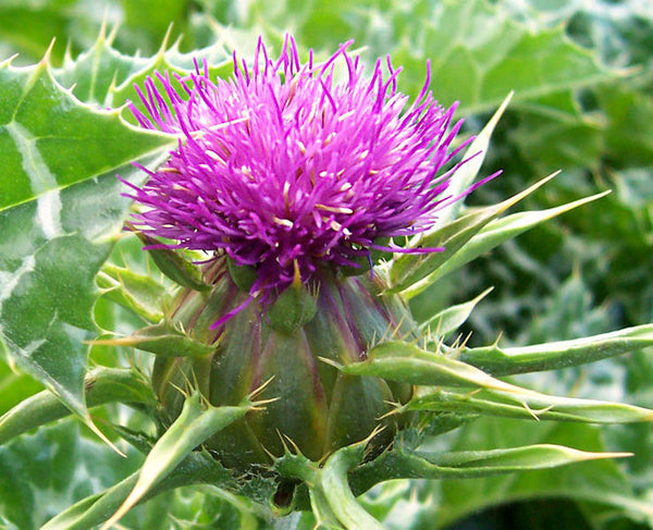 milk thistle image####