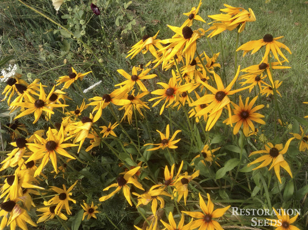 Mix gloriosa daisy image####