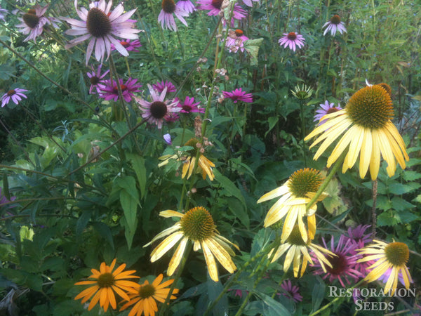 Mix coneflower image####