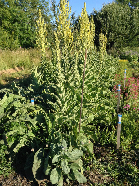 mullein, greek image####