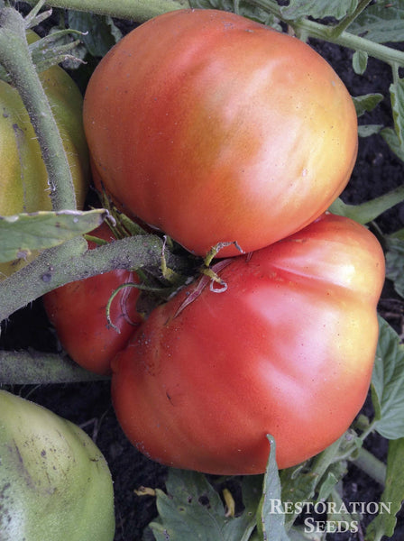 Neves Azorean Red tomato image####