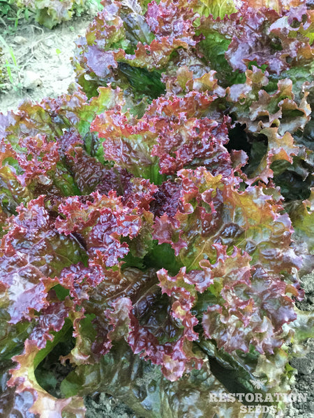 New Red Fire lettuce image####