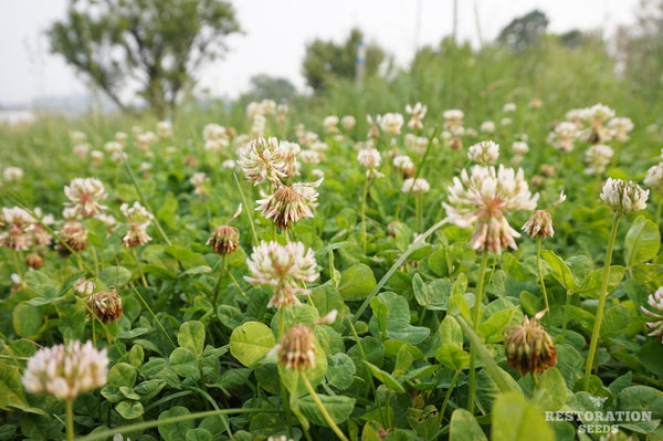 New Zealand white clover image##Photo: Charlie Burr##https://www.flickr.com/photos/128745158@N06/