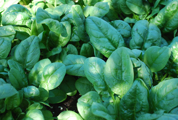 Nobel Giant spinach image####