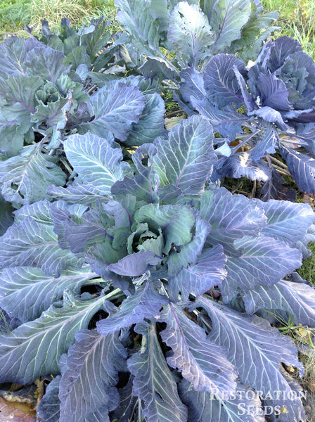 Ole Timey Blue collards image####