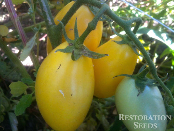 Powers Heirloom tomato image####