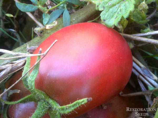 Purple Russian tomato image####