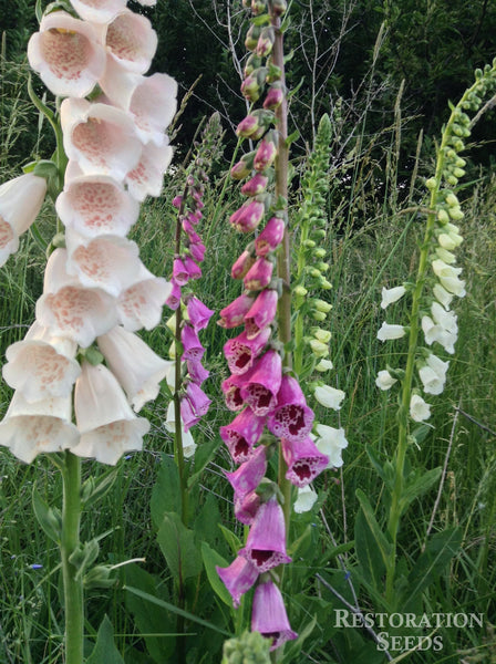 Purple White Mix foxglove image####