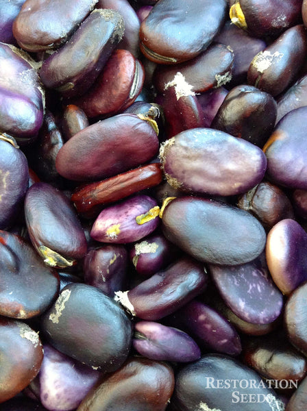 Purple fava bean image####