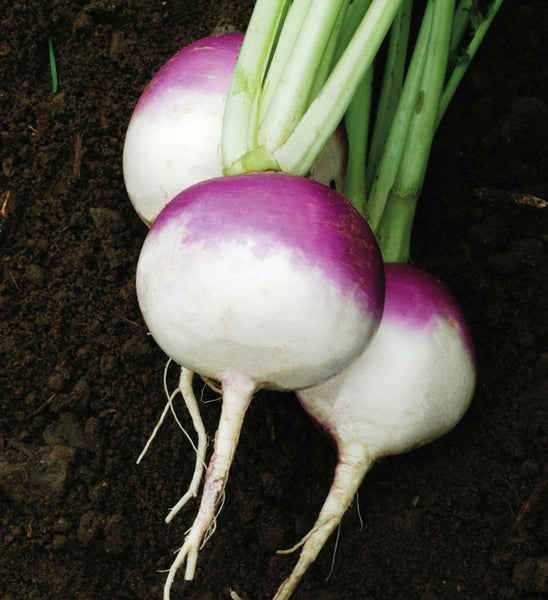 Purple Top White Globe Organic turnip image####