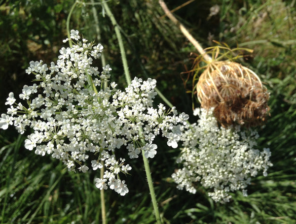 queen annes lace image####