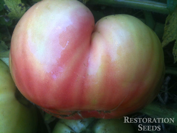 Quisenberry's Mortgage Lifter tomato image####