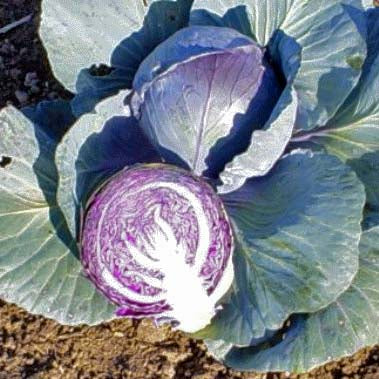 Red Acre cabbage image####