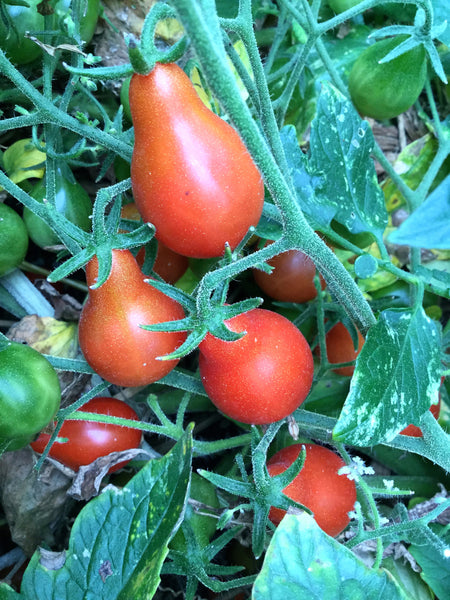 Red Clusterpear tomato image####