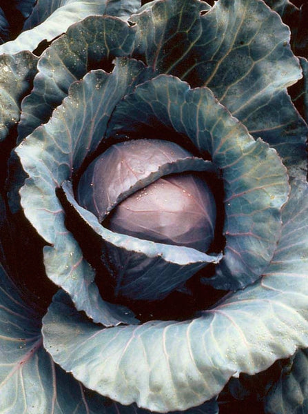 Red Express cabbage image####