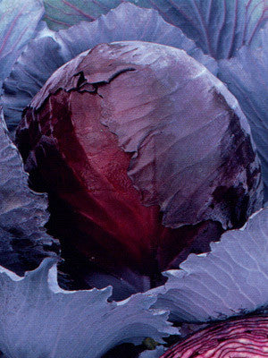 Red Express OG cabbage image####