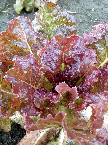 Red Flamingo lettuce image####