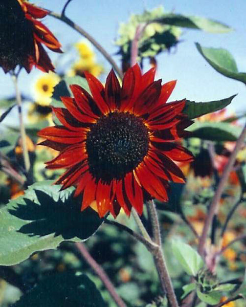 Red Sun sunflower image####