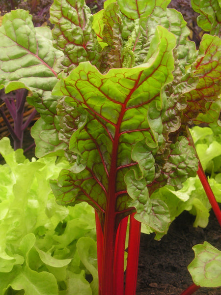 Red chard image####