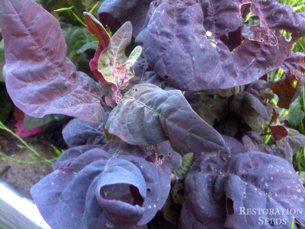 Red orach image####