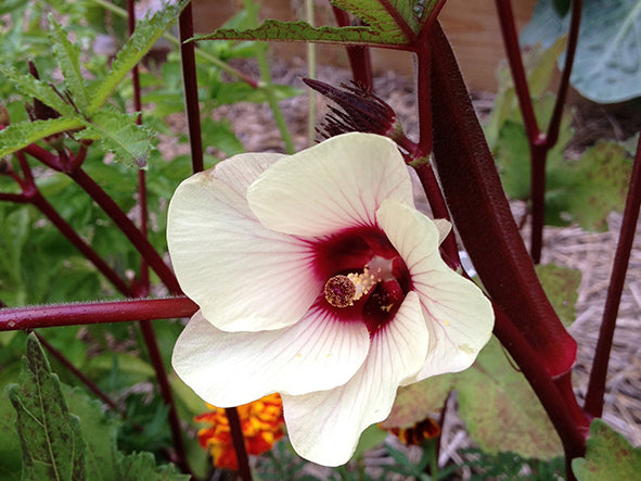 Red Burgundy okra image##Amy Andrychowicz, Get Busy Gardening##http://getbusygardening.com/add-color-to-your-vegetable-garden/