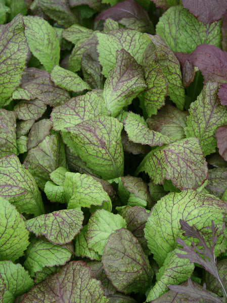 Red Giant mustard image####