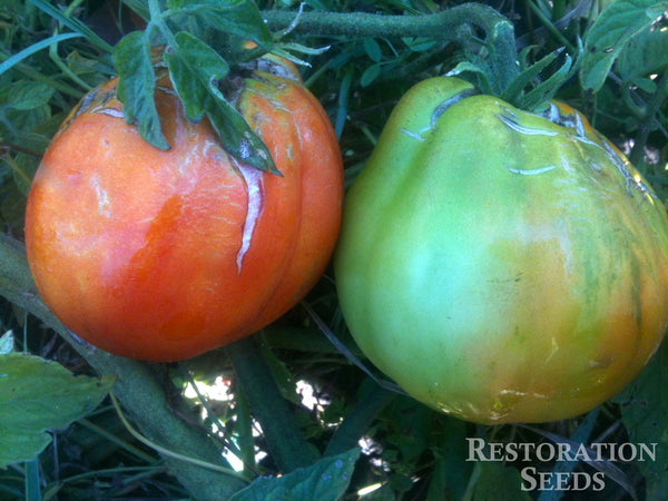 Red Pear Piriform tomato image####