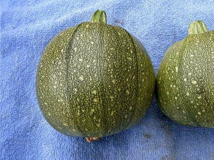 Round zucchini image##The Long Island Seed Project##http://www.liseed.org/roundzucchini.html