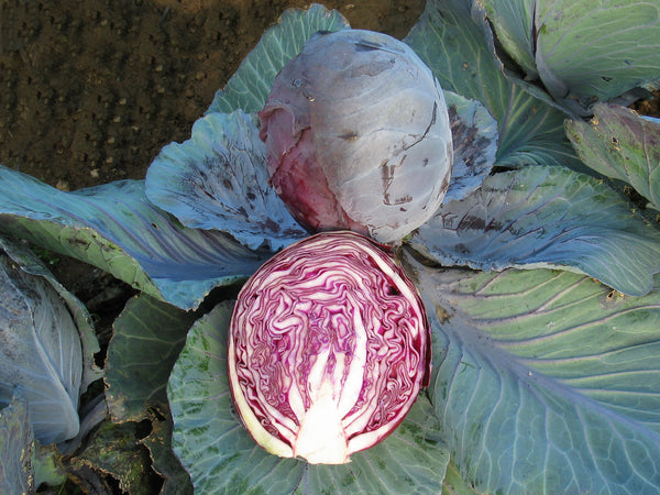 Rodynda KS cabbage image####
