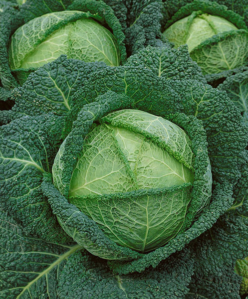 Savoy Perfection cabbage image####