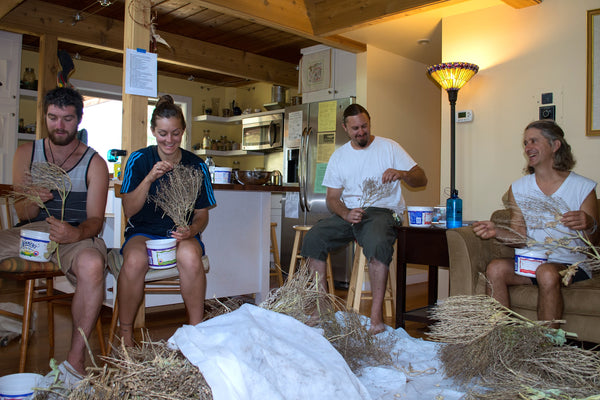 sea kale image##Photo: Adrienne Kimmy. SOPI permaculture students at the Sea Kale threshing party, half those saving seed are shown.##http://www.sopermaculture.org/