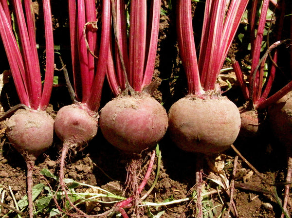 Shiraz Tall Top beet image####