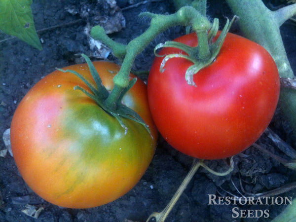 Sophie's Choice tomato image####