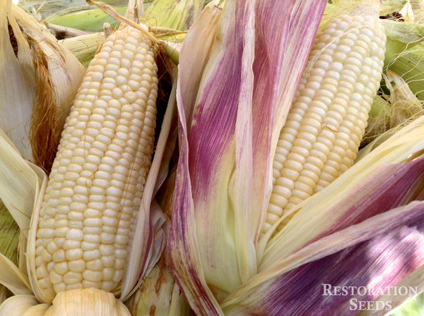 Stowell's Evergreen corn, sweet image####