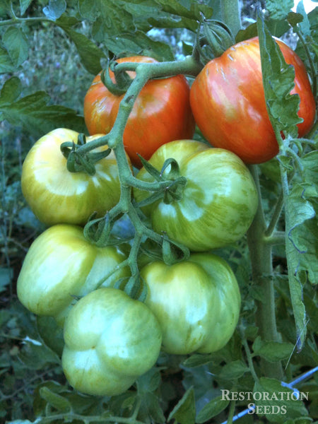 Striped Cavern tomato image####