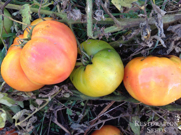 Striped German tomato image####